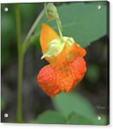Jewelweed Acrylic Print