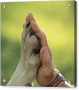 Jim Dutcher Places His Hand To The Paw Acrylic Print by Jim And Jamie Dutcher