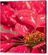 Jingle Bells 3 Poinsettia Acrylic Print