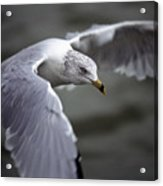 Johnathan Livingston Seagull Acrylic Print