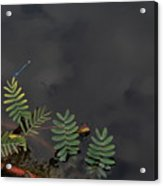 Joint Vetch With Dragon Fly Acrylic Print