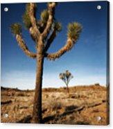 Joshua Tree 2 Acrylic Print
