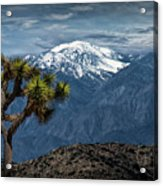 Joshua Tree At Keys View In Joshua Park National Park Acrylic Print