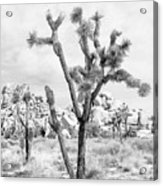 Joshua Tree Branches Acrylic Print