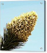 Joshua Tree Cone Acrylic Print