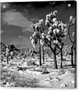 Joshua Trees In Snow Acrylic Print
