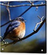 Juicy Male Eastern Bluebird Acrylic Print
