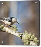 Jump - White-breasted Nuthatch Acrylic Print