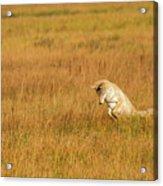 Jumping Coyote Acrylic Print
