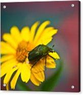 June Beetle Acrylic Print