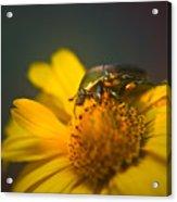 June Beetle Exploring Acrylic Print