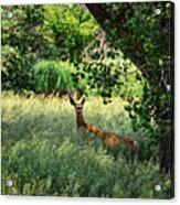 June Doe In Tall Grass Acrylic Print