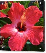 June Morning Hibiscus Acrylic Print