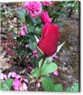 June Rose #2 Acrylic Print