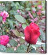 June Rose #4 Acrylic Print