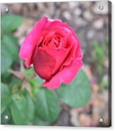 June Rose #5 Acrylic Print
