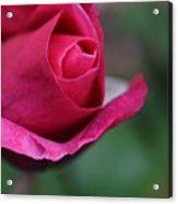 June Rose #7 Acrylic Print