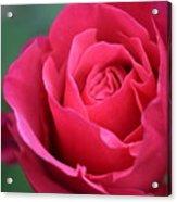 June Rose #8 Acrylic Print