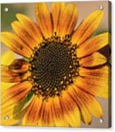June Sunflowers #2 Acrylic Print