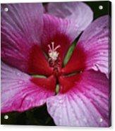 Junes Hibiscus 1 Acrylic Print