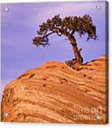 Juniper On Sandstone Acrylic Print