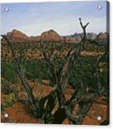 Juniper Tree Acrylic Print