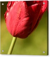 Just Another Tulip Acrylic Print