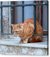 Just Curious Cat Acrylic Print