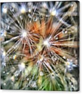 Just Dandy Acrylic Print