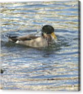 Just Ducking Around Acrylic Print
