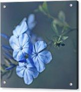 Just Feeling Blue Acrylic Print