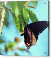 Just Hanging Out - Red-spotted Purple Butterfly Acrylic Print