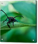Just Looking For Another Beetle Acrylic Print