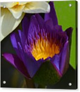 Just Opening Purple Waterlily -  Square Acrylic Print