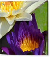 Just Opening Purple Waterlily With White - Vertical Acrylic Print