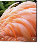 Just Peachy Acrylic Print