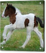 Just The Cutest Filly Acrylic Print