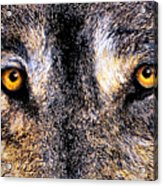 Just Watching Wolf Acrylic Print