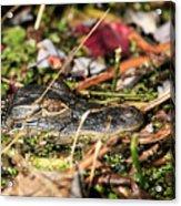 Juvenile American Alligator Acrylic Print