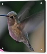 Juvenile Anna's Hummingbird Landing On Perch Acrylic Print