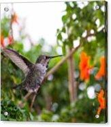Juvenile Anna's Hummingbird Warm-up Acrylic Print