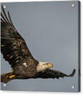 Juvenile Bald Eagle 02 Acrylic Print