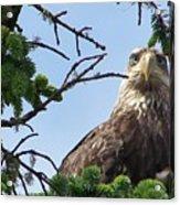 Juvenile Bald Eagle Acrylic Print