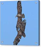 Juvenile Bald Eagles Drb0226 Acrylic Print