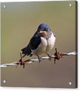 Juvenile Barn Swallow Landscape Acrylic Print