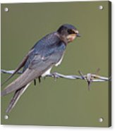 Juvenile Barn Swallow Side On Acrylic Print