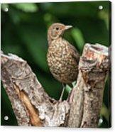 Juvenile Black Bird Turdus Merula Fledgling In Tree Stump In For Acrylic Print