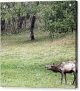 Juvenile Bull Elk Grazing 2 Acrylic Print