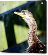 Juvenile Cormorant Profile Acrylic Print