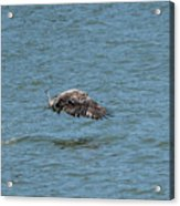 Juvenile Eagle Fishing Pickwick Lake Tennessee 031620161315 Acrylic Print